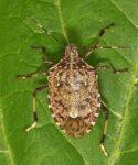 Опасный карантинный вредитель коричнево-мраморный клоп